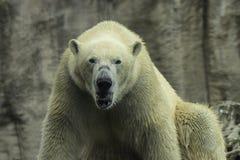 Polar Bear portret white close up. stock photo