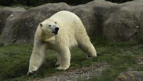 Polar Bear portret white close up. stock photos