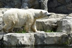 Polar bear pose Royalty Free Stock Photo