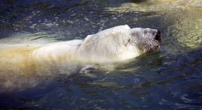 Polar bear predator the Arctic mammal hair Royalty Free Stock Photos