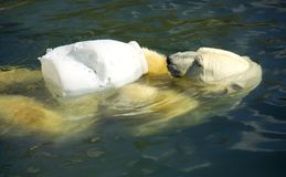 Polar bear predator Arctic regions mammal. Polar region  spurs Royalty Free Stock Image