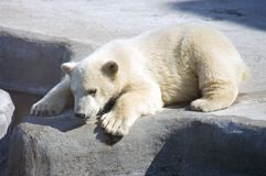 Polar bear predator Arctic regions mammal Stock Photography