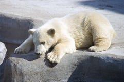 Polar bear predator Arctic regions mammal. Polar region  spurs Stock Photography