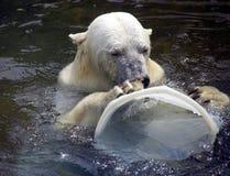Polar bear predator mammal arctic. Wool claws membrane Stock Image