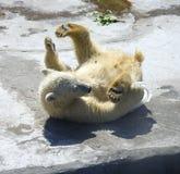 Polar bear predator  mammal bear cub the Arctic. Polar bear predator mammal bear cub the Arctic web zoo Stock Image