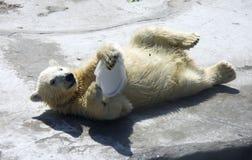 Polar bear predator  mammal bear cub the Arctic. Polar bear predator mammal bear cub the Arctic web zoo Royalty Free Stock Photography