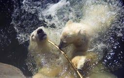 Polar bear predator  mammal bear cub the Arctic. Polar bear predator mammal bear cub the Arctic web zoo Stock Photography