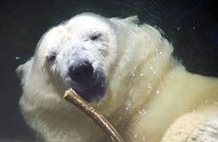 Polar bear predator  mammal bear cub the Arctic. Polar bear predator mammal bear cub the Arctic web zoo Royalty Free Stock Images