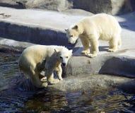 Polar bear predator mammal hair the Arctic. Black nose Royalty Free Stock Photography