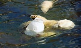 Polar bear predator mammal hair the Arctic. Black nose Royalty Free Stock Photos