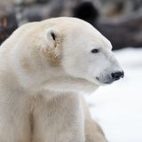 Polar bear profile Royalty Free Stock Image