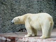 Polar bear at profile Royalty Free Stock Images