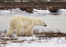 Polar Bear. Profile of a polar bear walking along the coast of the Hudson Bay in Churchill, Manitoba, Canada royalty free stock photos
