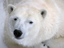 Polar bear ready for a nap portrait stock photography