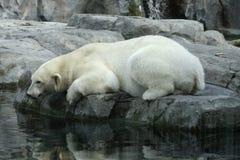 Polar Bear Reflection Royalty Free Stock Photos
