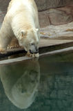 Polar bear reflection Royalty Free Stock Image