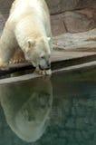 Polar bear reflection royalty free stock image