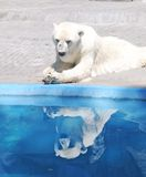 Polar bear reflection. A white polar bear reflection in a argentina zoo royalty free stock photography