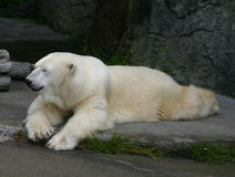 A polar bear relaxing. stock photos