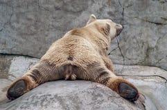Polar Bear Relaxing Stock Images