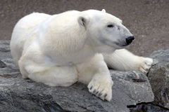 Polar bear relaxing on rock Stock Images