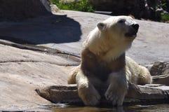 Polar bear relaxing stock photos