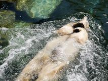 Polar bear relaxing and swimming on his back stock images