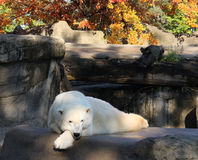 Polar bear resting Stock Photography