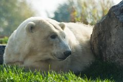 Polar bear resting Stock Photos