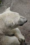 Polar bear resting Stock Photos
