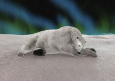 Polar Bear Resting Royalty Free Stock Images