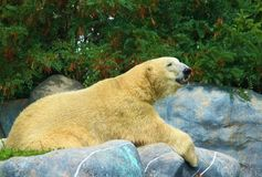 Polar bear resting on rocks. A polar bear resting on rocks in a zoo stock photos