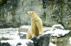Polar Bear resting in the snow. Stock Image