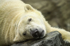 Polar Bear resting in the snow. Royalty Free Stock Photo