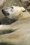 Polar Bear Resting in Water. A Polar Bear relaxing in the water Royalty Free Stock Photo