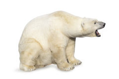Polar bear roaring Royalty Free Stock Images