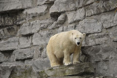 Polar bear on rock ledge. Polar bear standing on a rock ledge Royalty Free Stock Images