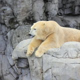 Polar bear on rock resting. A polar bear in a synthetic arctic zoo environment resting on the rock platform Stock Image