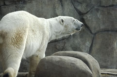 Polar Bear by Rock Wall. Polar Bear in simulated environment surrounded by rocks stock images