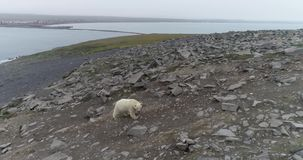 Polar bear on the rocky island in summer stock video footage