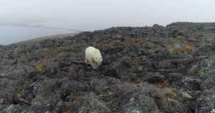 Polar bear on the rocky island in summer stock footage