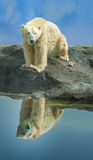 Polar bear on a rocky outcrop Stock Images
