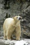 Polar Bear at Roger Williams Zoo. Stock Photo