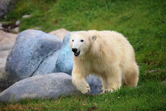 Polar bear. The polar bear is running stock photos
