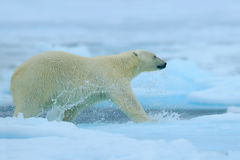 Polar bear running on the ice with water. Polar bear on drift ice in Arctic Russia. Polar bear in the nature habitat with snow. Po royalty free stock photo