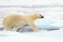 Polar bear running in the sea water. Polar bear in the nature. Big polar bear on drift ice edge with snow a water in Arctic Svalba stock images