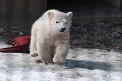 Polar Bear Stock Photography