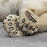 Polar bear's foot. Of laying polar bear royalty free stock photo