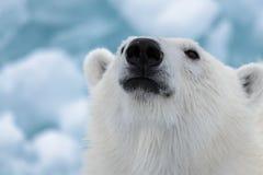 Polar bear`s Ursus maritimus head close up. Polar bear Ursus maritimus on the pack ice north of Spitsbergen Island, Svalbard, Norway, Scandinavia, Europe stock photo