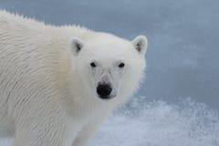 Polar bear`s Ursus maritimus head close up. Polar bear Ursus maritimus on the pack ice north of Spitsbergen Island, Svalbard, Norway, Scandinavia, Europe stock photography